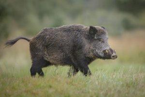 Две нови огнища на АЧС при диви свине са регистрирани в област Шумен от началото на декември