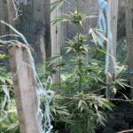 Откриха канабисови растения във Врачанско село, дилърът се издирва(Снимки)